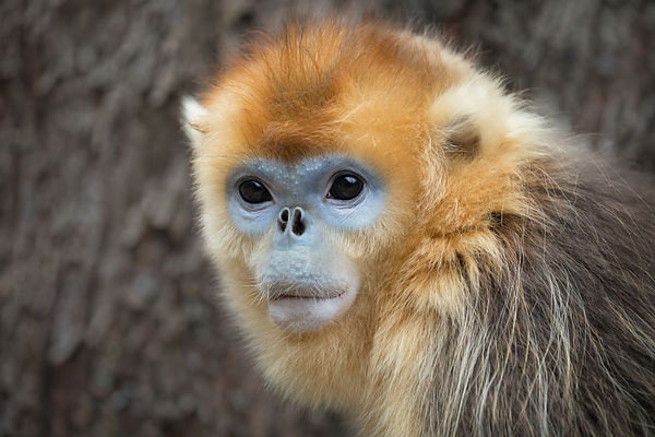 Golden Snub-nosed Monkey Portrait II