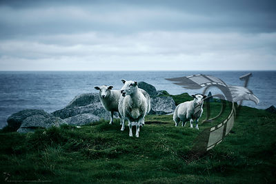 Norwegian sheeps