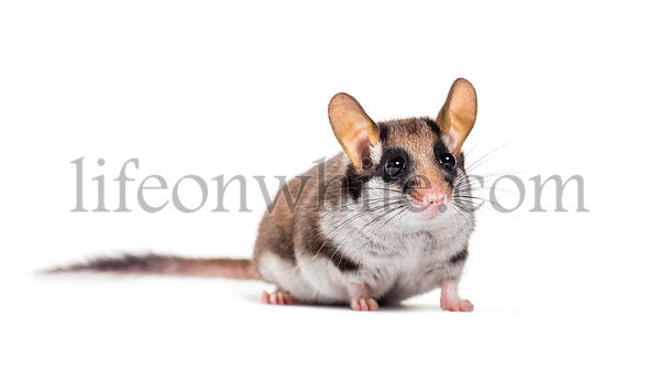 Garden Dormouse, Eliomys quercinus, in front of white background