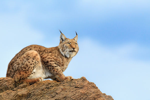 Lynx On The Lookout II