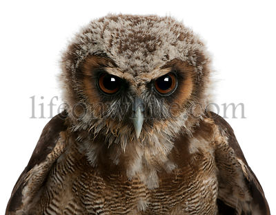 Portrait of Brown Wood Owl, Strix leptogrammica, in front of white background