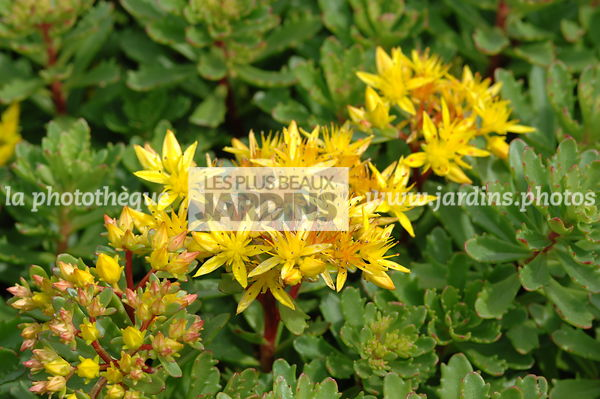 Sedum floriferum 'Weihenstephaner Gold'. Hollande