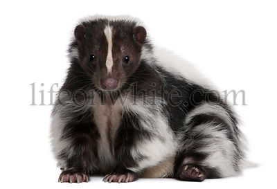 Striped Skunk, Mephitis Mephitis, 5 years old, lying in front of white background