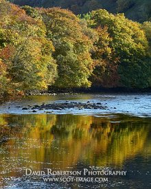 Prints & Stock Image - Beech trees in autumn colours reflected in the River Lyon, Perth and Kinross, Scotland.