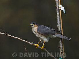 Sparrowhawk Accipiter nisus male in garden Norfolk.