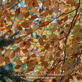 Prints & Stock Image - Beech trees leaves, Logie, Moray, Scotland