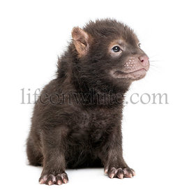 Baby Bushdog sitting looking away, Speothos venaticus, 2 months old, isolated on white