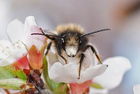 Frontal closeup of a male of the horned orchard bee, Osmia cornuta on a white prune flower
