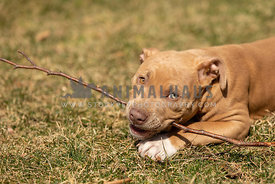 A pti bull puppy chewing on a stick