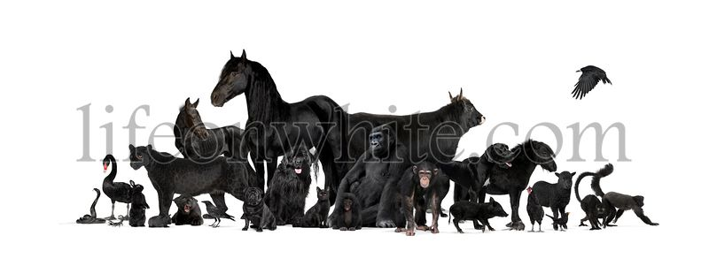 Group of black animals, pets end wilds, isolated on white