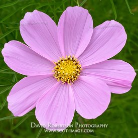 Prints & Stock Image - Cosmos flower close up