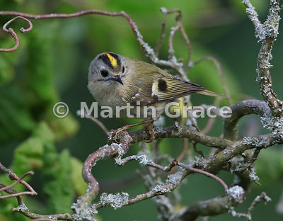 Goldcrest (Regulus regulus regulus) perching in a garden Contorted Hazel (Corylus avellana Contorta), Lake District National ...