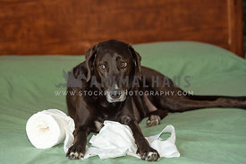 naughty lab mix with roll of toilet paper on bed