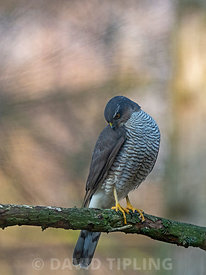 Eurasian Sparrowhawk Accipiter nisus, female in garden North Norfolk winter...