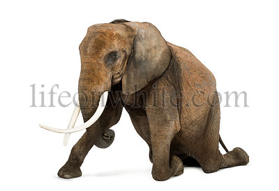 African elephant kneeling, performing, isolated on white