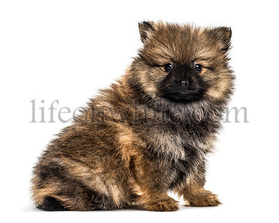 German spitz puppy sitting, isolated on white