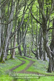 Image - Track through beech woodland, Islay, Scotland
