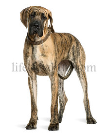 Great Dane, 10 months old, standing in front of white background