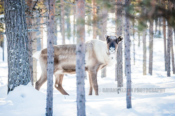 Reindeer standing in the forest in golden light in Finnish Lapland