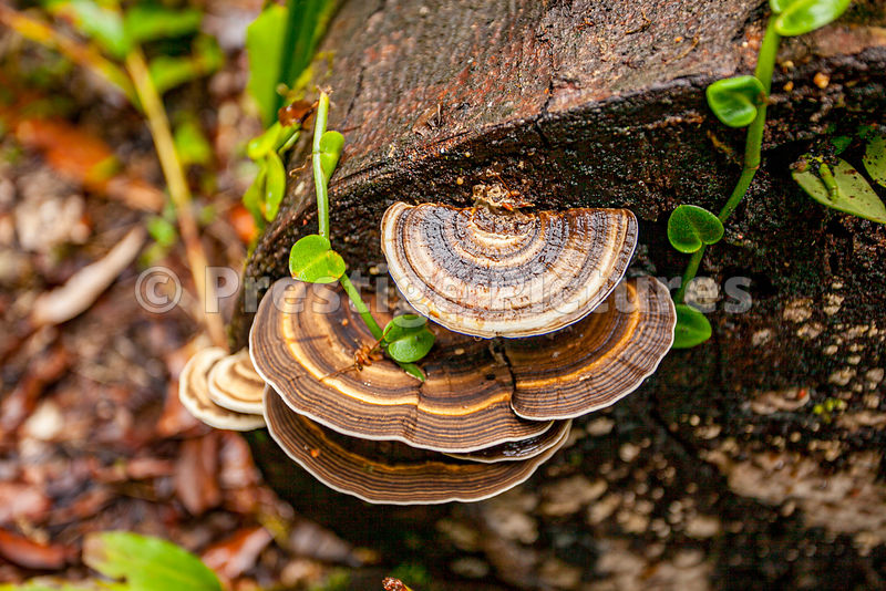 Turkey Tail Fungus in The Rainforest at Mossman Gorge