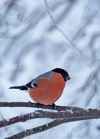 Bullfinch Pyrrhula pyrrhula male Finland winter