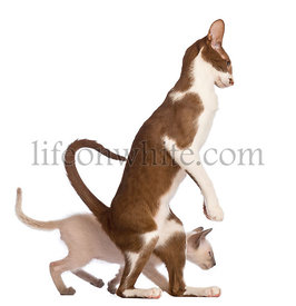 Adult Oriental Shorthair standing on hinds leg with kitten walking behind him against white background
