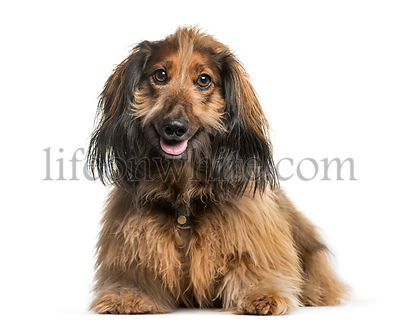 Dachshund, Sausage dog lying in front of white background