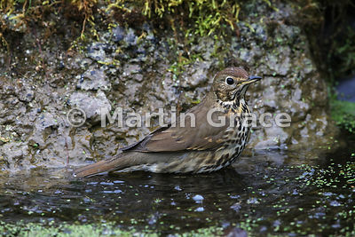 Song Thrush (Turdus philomelos) standing in my garden pond, Lake District National Park, Cumbria, England