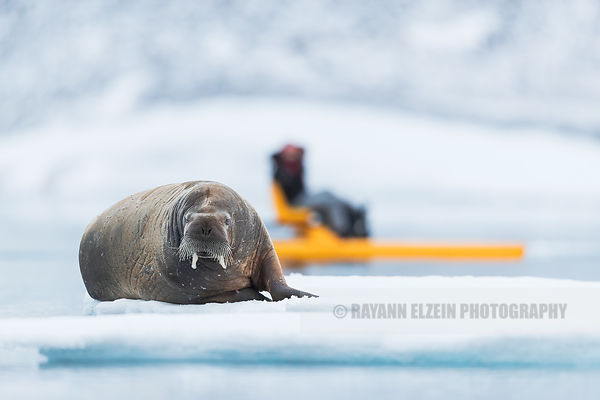 Walrus on an ice floe with tourists on a yellow pedalo in Sjuøyane, Svalbard, Norway