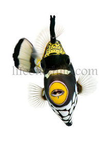 Clown triggerfish with mouth piercing, Balistoides conspicillum