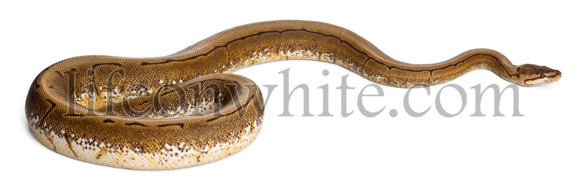 Spinner Python, Royal python, ball python, Python regius, 2 years old, in front of white background