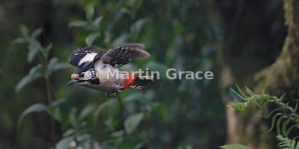Great Spotted Woodpecker female (Dendrocopos major) in flight, Lake District National Park, Cumbria, England