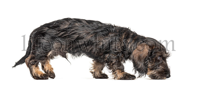 Side view of a walking Dachshund dog sniffing the ground, isolated