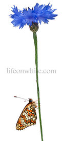 Knapweed Fritillary, Melitaea phoebe, on cornflower stem in front of white background