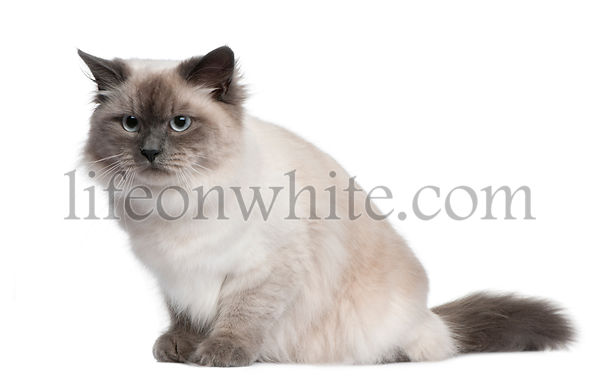 Siberian cat, 18 months old, sitting in front of white background