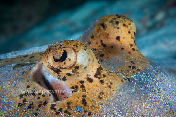 Bluespotted stingray eyes