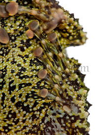 Mossy Frog, Theloderma corticale, also known as a Vietnamese Mossy Frog, or Tonkin Bug-eyed Frog, close up against white back...