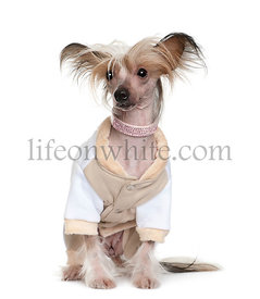 Chinese Crested Dog dressed up, 1 year old, sitting