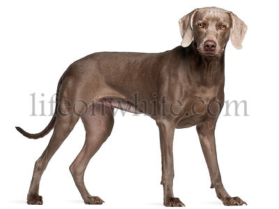 Weimaraner, 12 months old, standing in front of white background