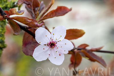 Prunus en fleur dans un  jardin, France, Pas de Calais, printemps ∞ Prunus in bloom in a garden in spring, Pas de Calais, France