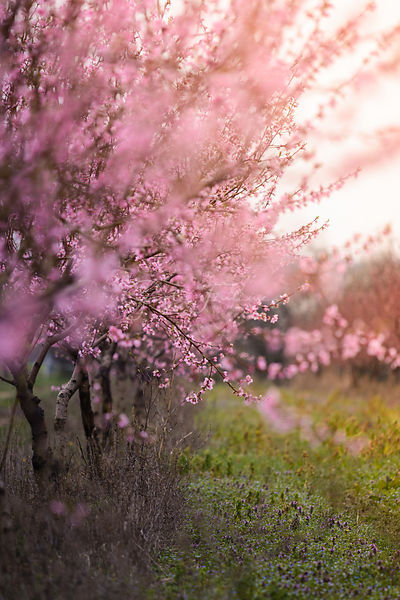 Beautiful flowered field of cherry with sunflare