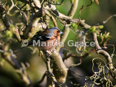 Common Chaffinch (Fringilla coelebs) male patterned by shadows of Contorted Hazel branches (Corylus avellana Contorta) in eve...