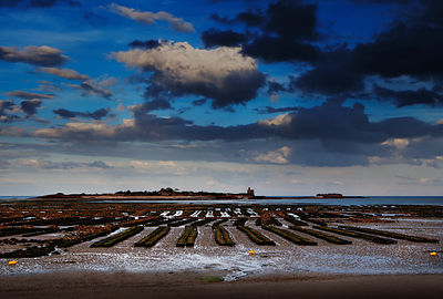 Oyster beds, St. Vaast la Hougue, Normandy, France.