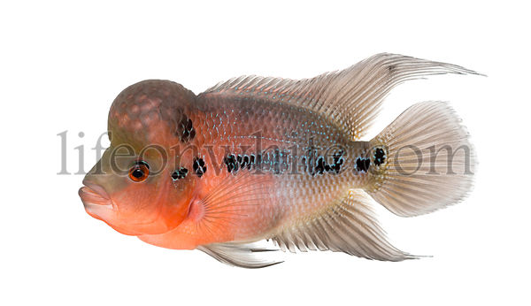 Side view of a Living Legend, Flowerhorn cichlid, isolated on white