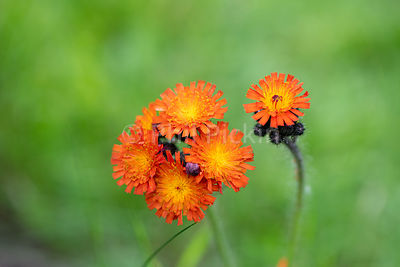 Orange hawkweed flowers