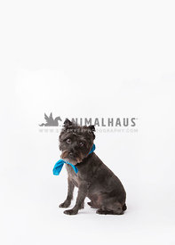 Terrier mix on seamless white paper looking at camera while sitting with a blue bandana