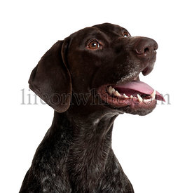 German Shorthaired Pointer, 5 years old, panting in front of white background