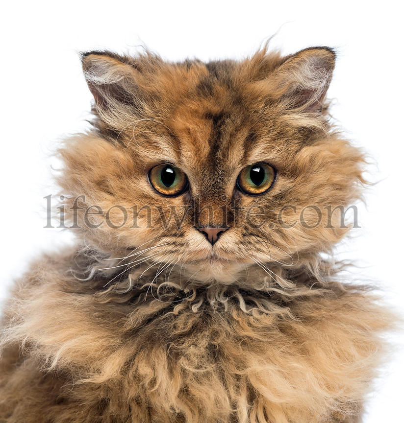 Close-up of a Selkirk Rex, 5 months old, looking at camera against white background