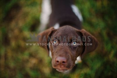 A young pointer looking up at the camera