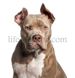American Bully, 10 months old, in front of white background